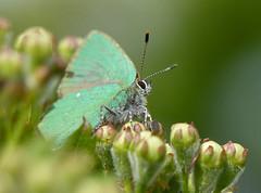 Green Hairstreak (callophrys rubi) (celerycelery) Tags: uk macro nature butterfly insect wildlife butterflies lepidoptera greenhairstreak callophrysrubi ukspecies