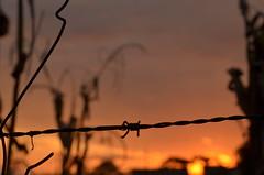 Cerca de arame farpado (Luciana Parizotto) Tags: santa sol de do cu nuvens cerca plano catarina primeiro por fundo milho ferro oeste pinheiros arame farpado plantao cercado xanxere