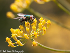 20130809_4895_Vlieg (Rob_Boon) Tags: macro insect fly tuin vlieg wijlre robboon