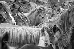 Curro da Graa 2013-Boiro (Ignaciocenteno{photo}) Tags: espaa horse canon caballo cheval caballos galicia galiza 7d acorua curro cabalo boiro rapadasbestas agraa ignaciocenteno currodagraa