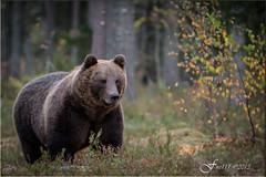Europese bruine beer (Ursus arctos arctos) European brown bear (fire111) Tags: bear brown beer finland iso3200 nikon 70200 f28 vr afs ursus bruine arctos 2013 d7100 viiksimo