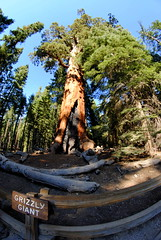 Grizzly Giant @ Mariposa Grove of Giant Sequoias (Marijke Clabots) Tags: usa nature beautiful america giant nationalpark flora nikon fisheye yosemite roadtripusa yosemitenationalpark fullframe sequoia mothernature giantsequoia mariposagrove mariposagroveofgiantsequoias d3000 giantgrizzly nikond3000 samyangfisheye8mm marijkeclabots