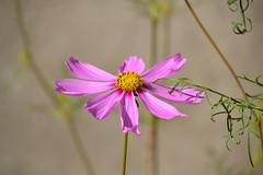 Cosmos , Flors de setembre (esta_ahi) Tags: barcelona pink espaa flores architecture spain flora flor asteraceae cosmos anoia compositae  elspratsderei cultivads