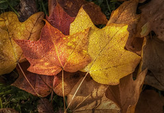 Dew on Autumn Leaves (ScottNorrisPhoto) Tags: morning autumn red orange sun sunlight color fall nature water grass leaves sunshine yellow closeup forest season landscape outdoors gold amber leaf drops maple stem flora october colorful vibrant seasonal scenic dew change cycles