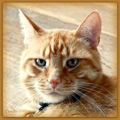 Broer (Cajaflez) Tags: broer tomcat kater katze chat cat gatto orange ginger rodekater pet cute huisdier portrait portret picmonkey mygearandme mygearandmepremium flickrstruereflection1 ruby10 ruby15 ruby20 rubyfrontpage