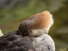 (Sarah-Vie) Tags: img 1635 harlecouronn oiseauxduqubec fabuleuse