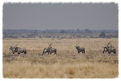 Two by Two, Whoops! [Explored] (The Spirit of the World ( On and Off)) Tags: africa nature wildlife safari antelope namibia grasslands oryx etosha southernafrica gemsbok africananimal powerofart slicesoftime rememberthatmomentlevel1