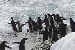 Antarctica - Day Two0210 (GLRPhotography) Tags: penguin antarctica 400 adelie 100400 over200 gourdin