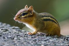 Chipmunk (Brian E Kushner) Tags: animals newjersey backyard nikon squirrel wildlife 300mm chipmunk f4 audubon d4 tc14eii nikor backyardanimals tc14 nikond4 audubonnj bkushner nikon300mmf40dedifafsnikkorlens