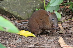 Musky Rat-kangaroo (aussiegypsy_Katherine, NT) Tags: nature mammal rainforest wildlife australian australia tropical aussie macropod marsupial tropics smallest kuranda fnq wettropics muskyratkangaroo ratkangaroo hypsiprymnodonmoschatus