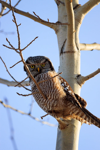 "Northern Hawk Owl • <a style=""font-size:0.8em;"" href=""http://www.flickr.com/photos/56452031@N00/11330601066/"" target=""_blank"">View on Flickr</a>"