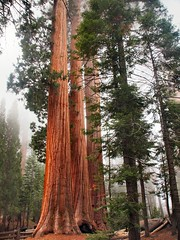 Sequoia National Park, CA (goodhike) Tags: california park ca trees tree giant national sequoia