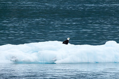 _MG_4524a (markbyzewski) Tags: bird alaska ugly iceberg glacierbaynationalpark