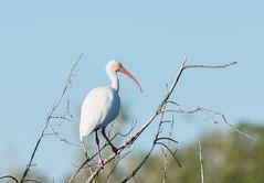 _0AC3903 (Chemist2013) Tags: birds wildlife evergladesnationalpark nationalparks whiteibis d800 floridabirds