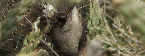 "Unusual perspective on Curve-billed Thrasher building a nest in cholla. • <a style=""font-size:0.8em;"" href=""http://www.flickr.com/photos/10528393@N00/12589753434/"" target=""_blank"">View on Flickr</a>"