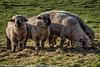 Shropshire Sheep - Haughmond (johnkenyonphotography) Tags: nature shropshire sheep farming shrewsbury lamb