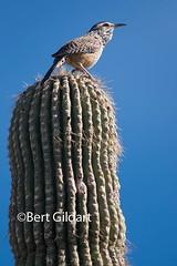 CactusWren-31