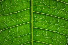 structure of a mango leaf (Red-Shadow) Tags: shadow red day natur pflanze struktur structure mango blatt leafs schatten baum roter 2014 redshadow grun vision:outdoor=0873