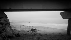 A foggy day #14 (efradera) Tags: street blackandwhite bw dog pet fog foggy streetphotography perro streetphoto niebla mascota badalona galgo fujix100