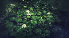 Lily Pond (*KIKITA*) Tags: flowers plants green texture nature water leaves vintage dark cellphone retro add mobilephone lilypads android pixlr snapseed flickrandroidapp:filter=none pixlrexpress addwatermark erickagiulianiphotography