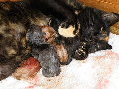 brand new kittens (rospix) Tags: uk macro nature animal wales cat countryside birth kittens litter april 2014 rospix
