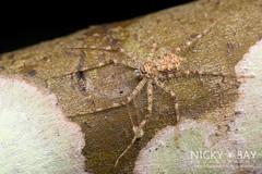 Lichen Huntsman Spider (Pandercetes sp.) - DSC_8071 (nickybay) Tags: macro spider singapore lichen huntsman sparassidae upperpeircereservoir pandercetes