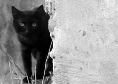 EDGAR ALLAN (kchocachorro) Tags: bnw blackandwithe cat black blackcat gatonegro