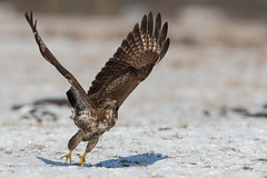 Take-Off (Mr F1) Tags: buzzard comon buteobuteo wild nature bif birdsinflight johnfanning raptor bop birdsofprey detail closeup wings feathers takeoff outdoors snow ice