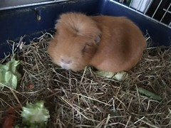 2017 (Day 79 - 20th Mar): Does Sunny the guineapig want a different dinner?