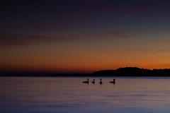 Swanlake (hartvig.johnsen) Tags: swan sunset sea nature norway homborsund longtime exposure