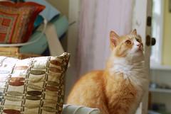 Patterns and Color   ...and Jimmy (rootcrop54) Tags: orange ginger tabby male cat color pattern naturallight lookingup red pink macska kedi 猫 kočka kissa γάτα köttur kucing gatto 고양이 kaķis katė katt katzen kot кошка mačka maček kitteh chat ネコ jimmy