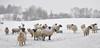 Frozen sheep (Heathermary44) Tags: snow sheep winter winter2010 landscape frozen nature