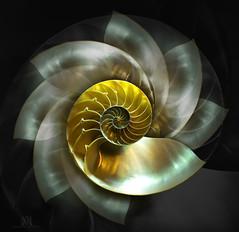 Nautilus 2 (marianna_m.) Tags: nautilus shell mollusk spiral repeated multiple stilllife fine art mariannaarmata