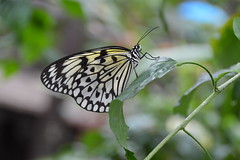 Giant Tree Nymph Butterfly (Idea leuconoe) (Seventh Heaven Photography) Tags: giant nymph tree butterfly rice paper kite idea leuconoe idealeuconoe insect