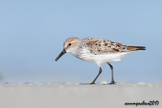 western sandpiper in breeding plumage