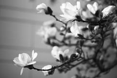 L1004006_v2 (Sigfrid Lundberg) Tags: lund lundc sweden skåne leica aposummicronm 50mmf20asph magnoliastellata
