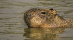 Capybara enjoying the water-1 (tiger3663) Tags: capybara water enjoying yorkshire wildlife park