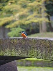 Kingfisher (M_Strasser) Tags: kingfisher eisvogel tokyo olympus olympusomdem1 japan koishikawakōrakuengarden 小石川後楽園 koishikawakōrakuen garden