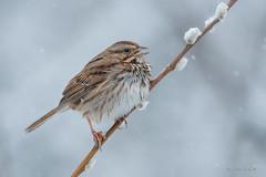 Song Sparrow (Earl Reinink) Tags: winter snow snowfall earl reinink earlreinink niagara ontario nature bird birdphotography naturephotography spring sparrow songsparrow zueaidhdia melospizalincolnii