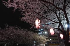 IMG_0541 (digitalbear) Tags: canon powershot g9x markii mark2 nakano dori sakura cherry blossom blooming fullbloom tokyo japan yozakura hanami