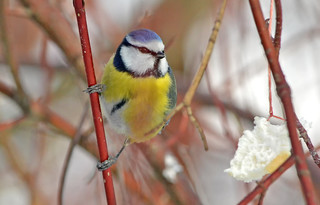Eurasian blue tit :) Finland. Winter.