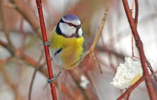 Eurasian blue tit :) Finland. Winter.