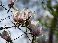Magnolia Blooms (ingrid eulenfan) Tags: frühling spring blüte magnoli blooms baum tree bokeh
