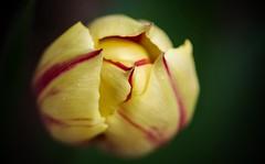 Beginnings- Color mystery solved (Kerstin Winters Photography) Tags: flickrcolors natur nature naturfotografie nahaufnahme nikkor nikon detail photography fotografie yellow d5500 nikondigital nikondsl macro closeup colorado tulpen blume flower flickrnature flickr tulip
