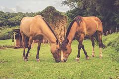 Horses (Fernando Della Flora) Tags: campo cavalos farm horse ranch selp1650 sonyilce6000