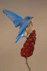 What's all the flap about...? (Earl Reinink) Tags: blue bird bluebird easternbluebird earl reinink earlreinink birdphotography naturephotography nikon niagara ontario canada dhrardtdia
