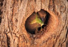 Bringing home the bacon! (BoydM2012) Tags: namibia south african birds sparrow greyheaded grasshopper