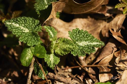 feuilles de lamier