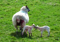Here come the lambs..x (Lisa@Lethen) Tags: lambs blood sheep birth field spring nature