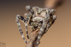 Spider acrobat (pg_art) Tags: wow woods wildlife eyes eye depthoffield dreams trees greece texture thessaloniki nature sunny bugs sun insect insects nikon sigma light outdoor bokeh mountain pgart amazing animal macroworld macro macrodreams d750 forest ngc closeup spider